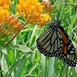 Butterfly Milkweed with Butterfily image