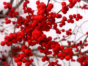 Plant of the Month: Winterberry
